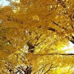 昭和記念公園の紅葉2014見頃の時期に行ってきました♪おススメスポットは?