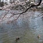 井の頭公園の桜の見頃と場所取りは?子連れ花見で注意する事は?
