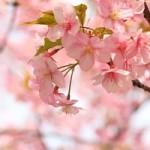 神代植物公園の桜の見ごろと開花状況は?深大寺では?