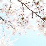 鎌倉の桜の名所は鶴岡八幡宮で決まり?!開花予想とおすすめ温泉は?
