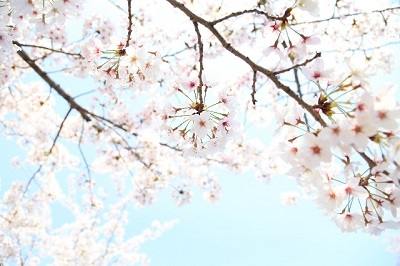 熱海伊豆山の桜にの見ごろは?