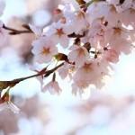 桜の写真の撮影方法やコツを知って、撮影時間や構図まで考えよう!!