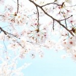 金櫻神社の桜の見頃とアクセスは?パワースポットで金運アップも。