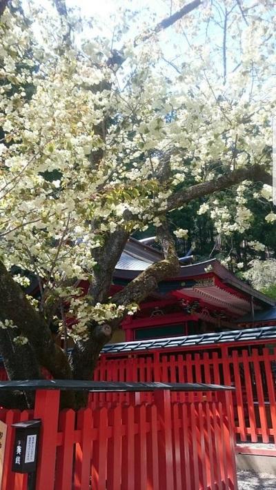 金櫻神社うこんの桜満開