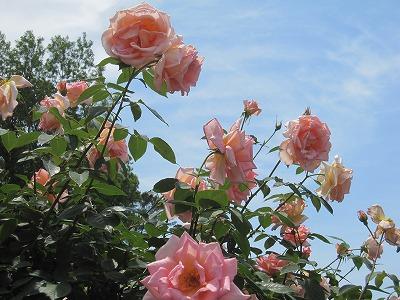 神代植物公園バラと空をとる