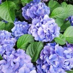 白山神社あじさい祭り2017時間は?開花状況と混雑は?
