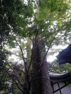 川越氷川神社ご神木 (3)
