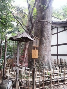 川越氷川神社ご神木 (2)