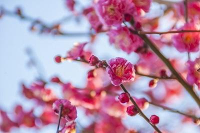湯島天神の梅の見ごろはいつ?梅まつり夜観梅ライトアップも楽しもう。