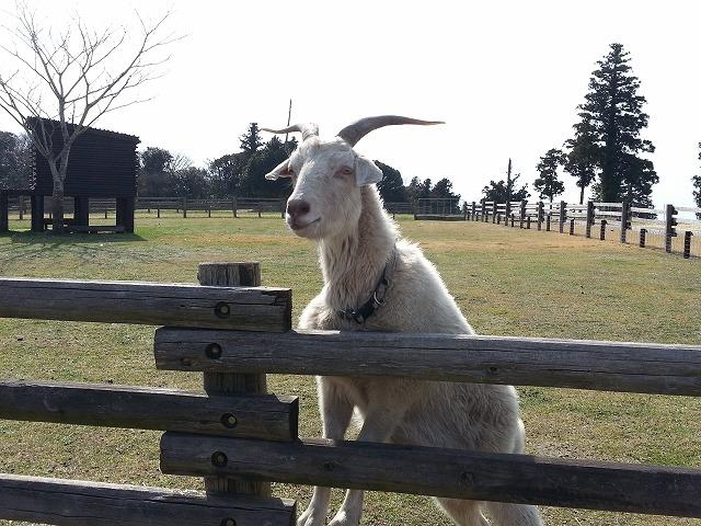マザー牧場ファームツアーは予約必須!ひつじの大行進など見どころは?ランチやおやつは?