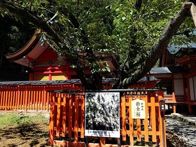 金桜神社うこんの桜