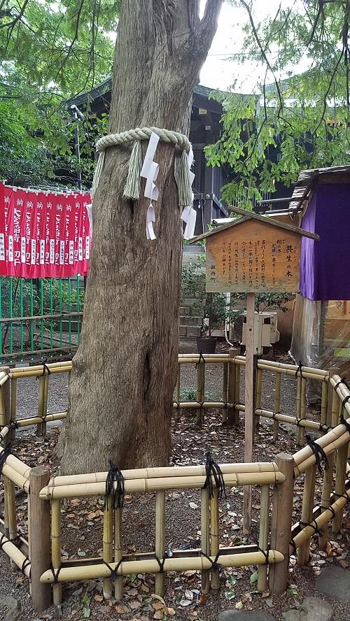 大厩八幡宮共生木